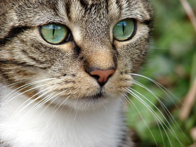 Alert Cat Alertness Animal Eye Animal Themes Beautiful Cat Beautiful Eyes Cat Close-up Day Domestic Animals Domestic Cat Feline Green Eyes Mammal Nature No People One Animal Outdoors Pets Portrait Stripes Pattern Tabby Cat Watching Whisker White Whiskers