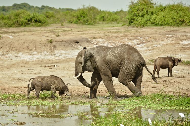 Elephant and cape buffalos by waterhole