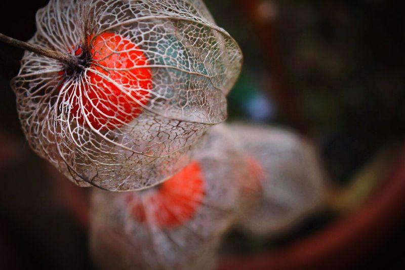Close-up of winter cherries