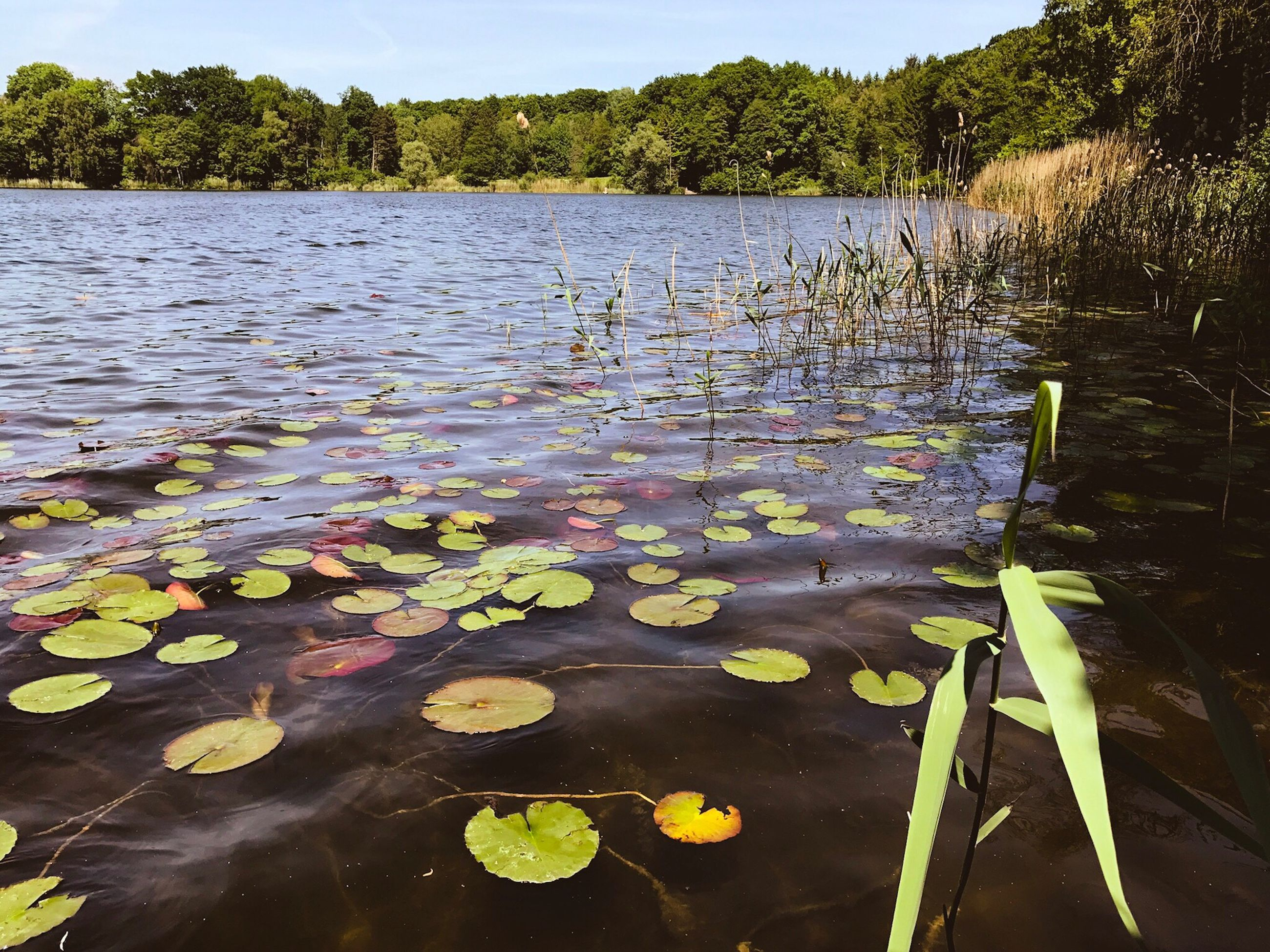 water, lake, nature, lily pad, floating on water, leaf, water lily, beauty in nature, tranquility, growth, lotus water lily, no people, plant, floating, outdoors, day, reflection, flower, water plant, lotus, scenics, fragility, tree, freshness