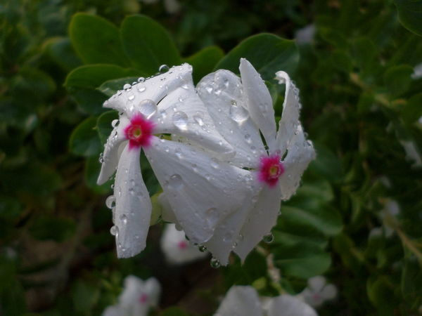 Beauty In Nature Blooming Close-up Day Drop Flower Flower Head Focus On Foreground Fragility Freshness Green Color Growth Leaf Nature No People Outdoors Periwinkle Petal Water Wet White Color