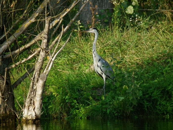 Fadd Magyarország Duna Folyo River Riverside Holtág Deadriver Madar Bird Szürkegém Grey Heron