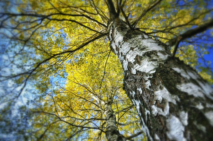 Backgrounds Bark Beauty In Nature Blue Branch Brzoza Close-up Day Focus On Foreground Green Color Growth Low Angle View Nature No People Outdoors Poland Scenics Selective Focus Sky Sunny Tranquil Scene Tranquility Tree Tree Trunk