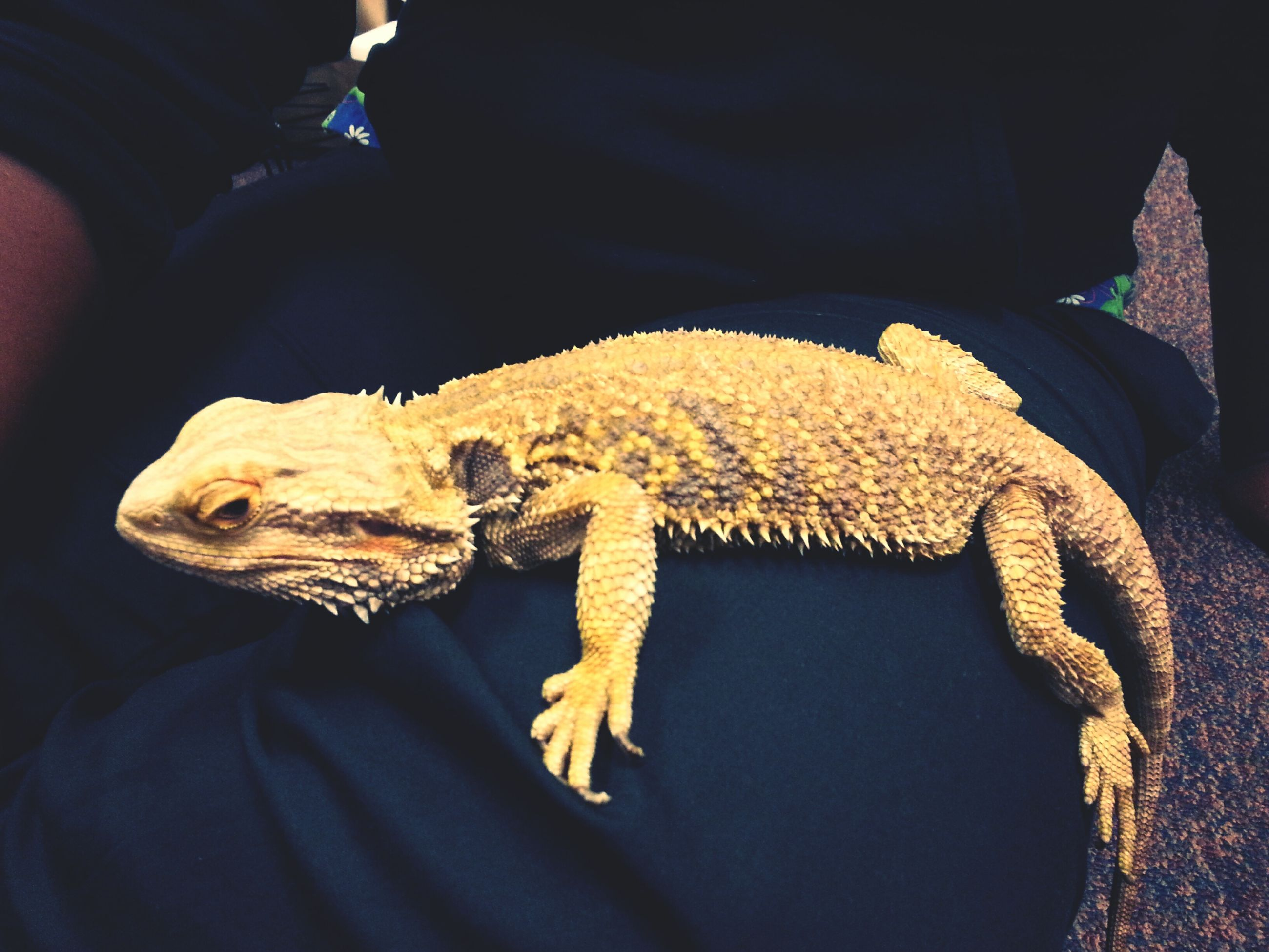 animal themes, person, one animal, animals in the wild, indoors, wildlife, holding, reptile, lifestyles, men, part of, lizard, unrecognizable person, close-up, leisure activity, high angle view, midsection