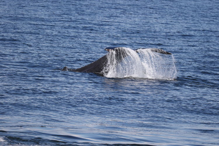 Humpback whale diving in sea