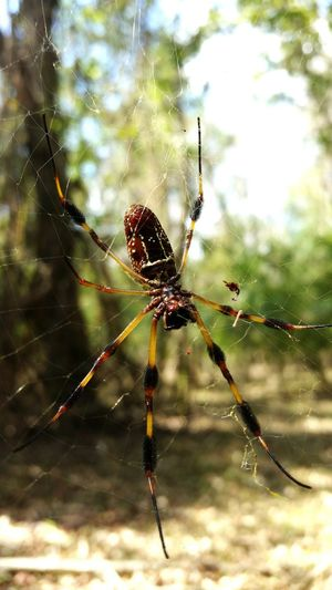 The most photogenic spider. Alabama OpenEdit Woods Spider Insect Spider Web Outdoors Macro Full Length