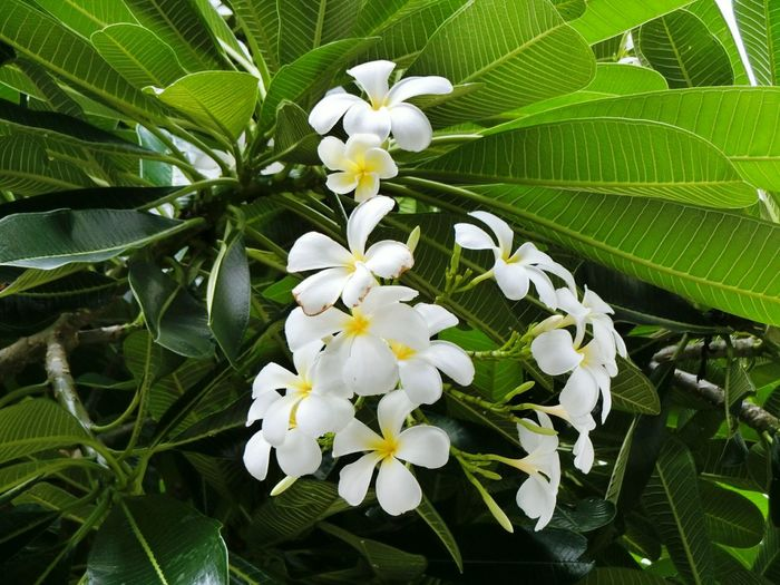 Frungipani flowers beautiful Nature Natural Natureflower Beautiful Green Flowers  Garden Spring Flowers Casio Backgrounds Background Flowers Colorful Casio Camera Flower Head Flower Leaf Petal White Color Close-up Plant Blooming Plant Life Frangipani Softness