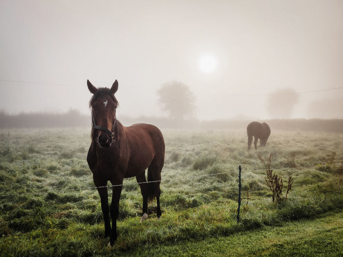 Misty Morning 🌫 and some horses Agriculture Animal Outdoors Field Mammal Rural Scene Nature Domestic Animals Animal Themes Grass Silhouette Fog Tree Livestock Landscape Day No People Beauty In Nature Sky Ireland Horses Horse Fresh On Market 2017
