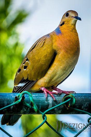 Turtle Dove AMPt_community EyeEm Nature Lover AMPt_Nature Bird JJDezigns+Photography