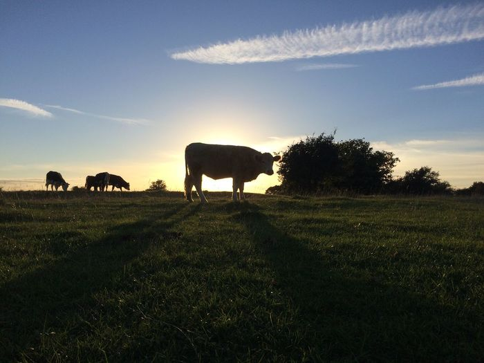 Animal Themes One Animal Cow Field Tree Mammal Sky Blue Livestock Tranquility Nature Day Herbivorous Tranquil Scene No People Pasture shadow Scenics Animal Beauty In Nature