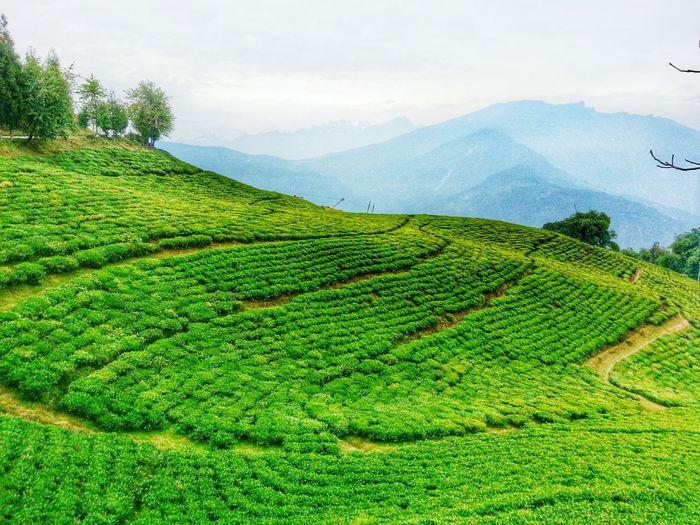 Temi tea gardens ...South sikkim