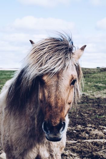 How is my hair today? Road Trip Stopover Travel Front View Countryside Farm Zoo Free Icelandic Horse Pony EyeEm Selects Animal Animal Themes One Animal Mammal Animal Wildlife Domestic Animals Sky Horse Domestic Pets Vertebrate Livestock Day Field Animal Body Part Nature Close-up No People