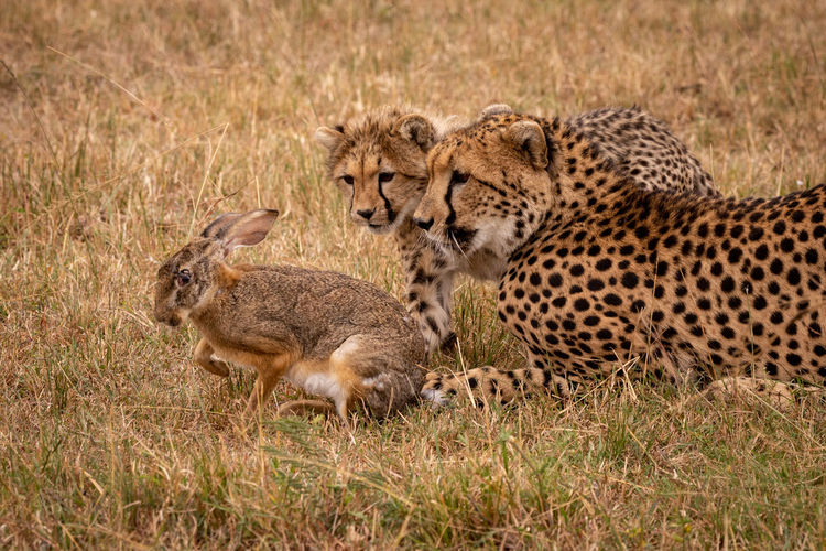 Family of cheetah eating hare on field