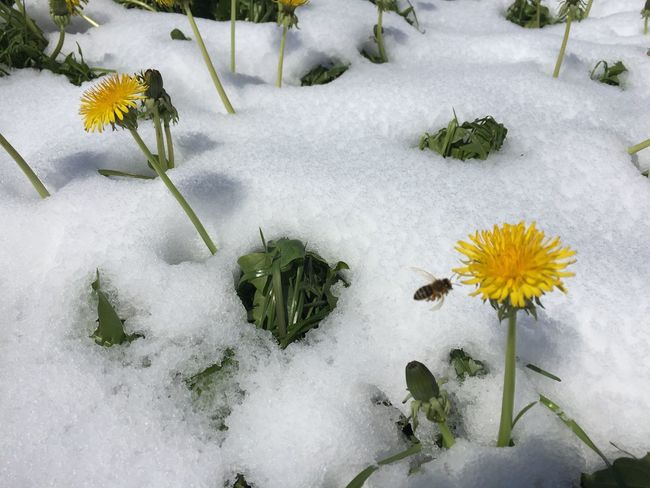 Bee Flight Last Snow Day  Snow Winter Cold Temperature Flower Nature White Color Plant Growth Weather No People High Angle View Day Outdoors Freshness Beauty In Nature Fragility Leaf Flower Head Close-up Paint The Town Yellow