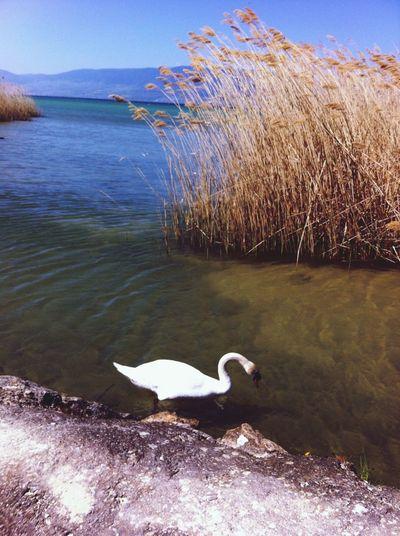 Friends Make A Break Relaxing Swan