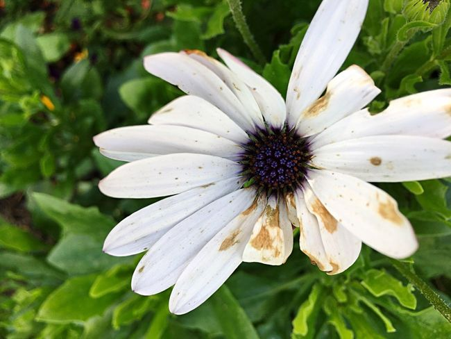 IPhoneography Flower Growth Nature Fragility Freshness Petal Flower Head Beauty In Nature Plant White Color Blooming Close-up Outdoors No People Pollen Day Osteospermum