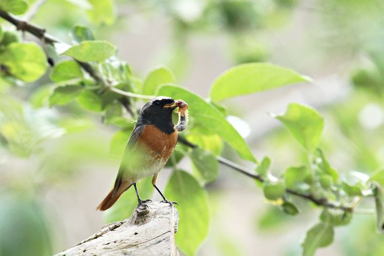 Animal Wildlife Animal Themes Animals In The Wild One Animal Animal Plant Part Leaf Bird Perching Tree Branch Focus On Foreground No People Close-up Outdoors Nature Plant Day Robin Catch Of The Day Insect Food