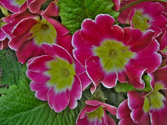 Pink primula Plant Plants Plants And Flowers Pink Color Pink Pink Flower Primula Colors Garden Flowers Spring Has Arrived Beauty In Nature Blooming Flower Flower Head Growth Nature Petal Plant Spring Spring Flowers Springtime