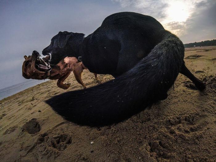 Black dog lying on sand