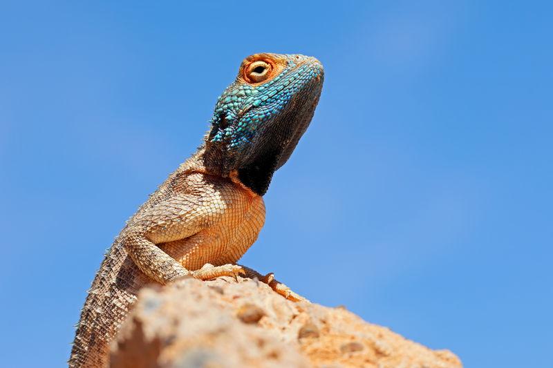 Portrait of a ground agama - agama aculeata - sitting on a rock against a blue sky, south africa