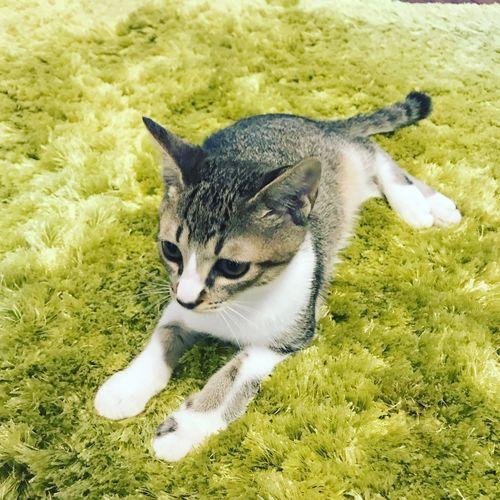 Portrait of a cat lying on field