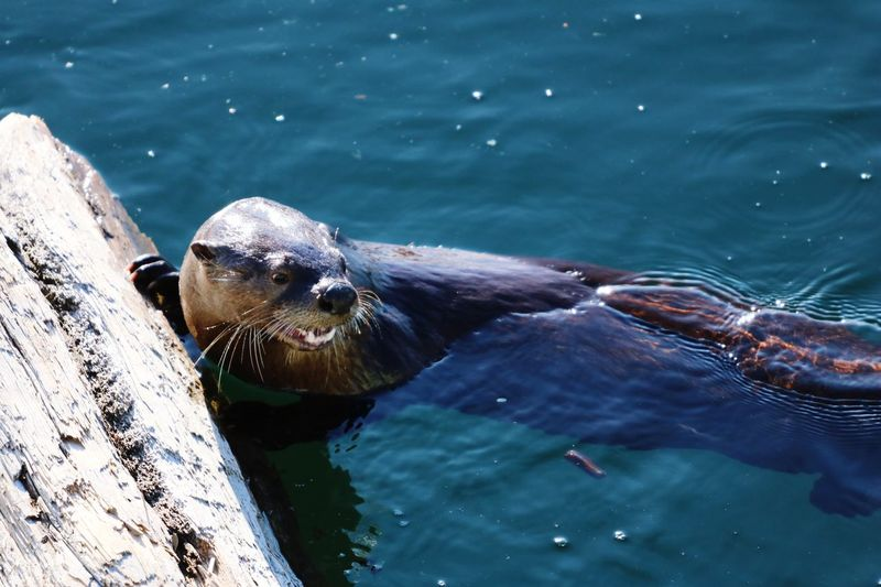 High angle view of  otter in ocean