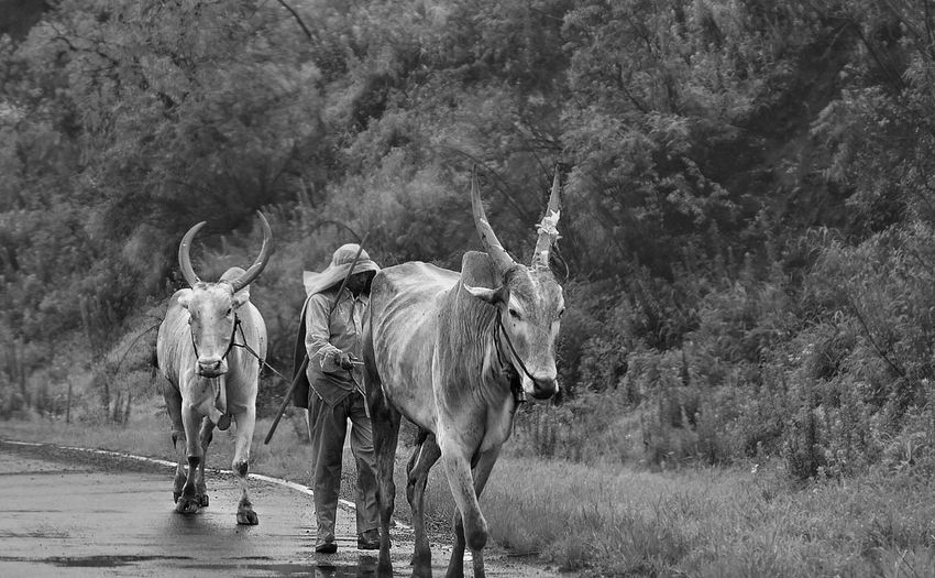 Man with bulls walking on road against trees