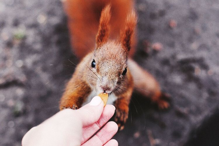 Close-up of hand feeding squirrel