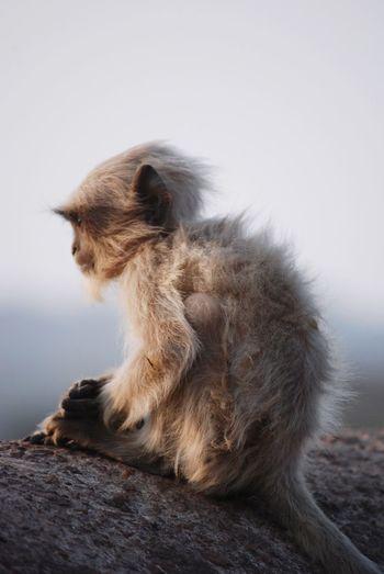 Lonely Langur Rajasthan Ranthambore National Park Langur Animal Animal Themes Mammal One Animal Vertebrate Sitting Primate Animal Wildlife Monkey Animals In The Wild Looking Away Nature Close-up