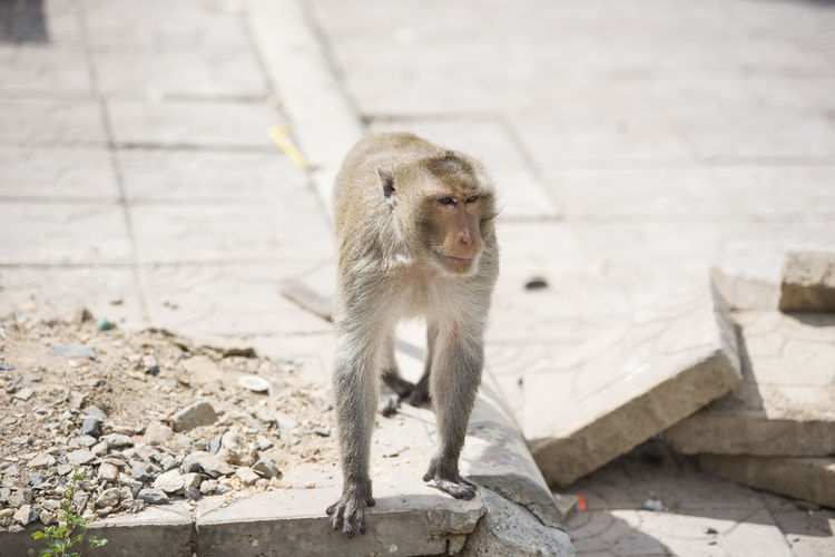Macaque Monkey at Lopburi, Thailand City Nature Road Thailand Animal Themes Animal Wildlife Animals In The Wild Broken Close Up Close-up Lopburi Macaque Mammal Monkey Nature No People One Animal Outdoors Pavement Pavements Streetphotography Wild