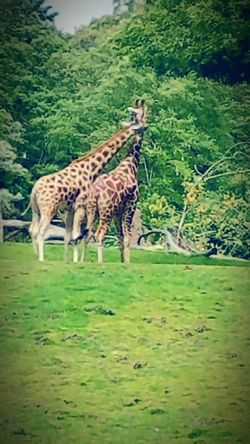 Fine Art Photography Giraffe Love Check This Out Zoo Animals  Woodland Park Zoo Taking Photos Hello World EyeEm Gallery Pattern, Texture, Shape And Form Hidden Gems  The 00 Mission Two Is Better Than One Eyeemphoto Color Palette Colour Of Life Best Of EyeEm Love Everybody