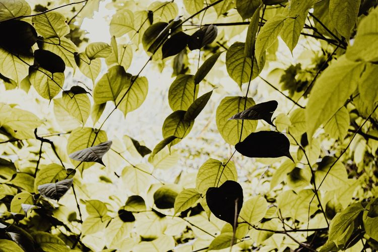 Green Leaves,