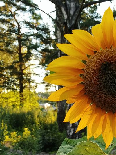 Evening rays. Very big sunflowers in the evening sun. Sunflower Plant Sunflowersociety Sunflowers Sunflowermagic Big Flower Yellow Flower Flower Collection Beautiful Nature Flower Photography EyeEm Nature Lover Summertime Sunny Afternoon Afternoon Beautiful Beauty In Nature The Better Half Close Up Hugging A Tree Sunflower Mindfulness Freedom Shadows & Lights Shadows And Sunlight Yellow Flowers in Sweden
