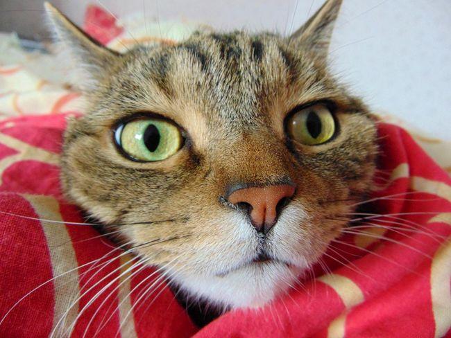 Cat Cats Animals Eyes шотландец кот котэ няша лапа пупсик глаза  усатик красота Природа