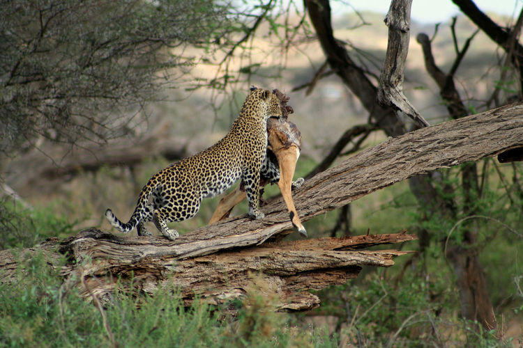 Full Length Side View Of Leopard With Dead Animal On Fallen Tree In Forest