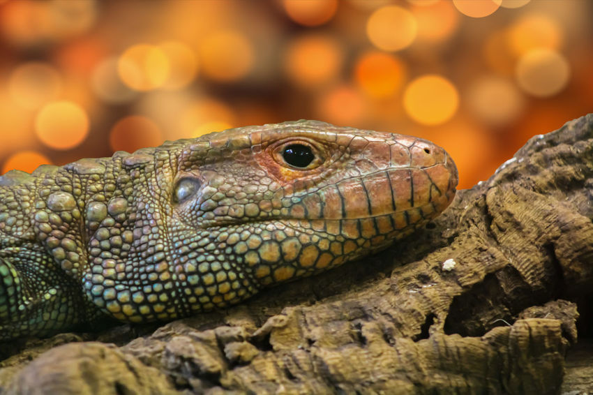 Animal Themes Animal Wildlife Animals In The Wild Bokeh Close-up Day Focus On Foreground Iguana Lizard Nature No People One Animal Outdoors Reptile