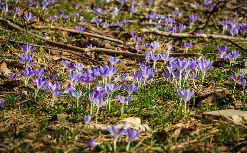 Close-up of purple crocus flowers blooming on field