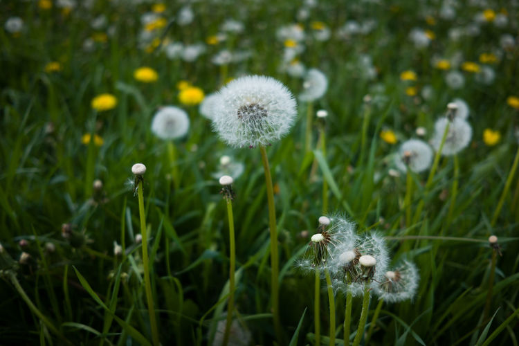 Plant Flower Flowering Plant Growth Dandelion Freshness Fragility Beauty In Nature Nature Vulnerability  Green Color No People Land Flower Head Close-up Field Day Inflorescence White Color Softness Outdoors Dandelion Seed