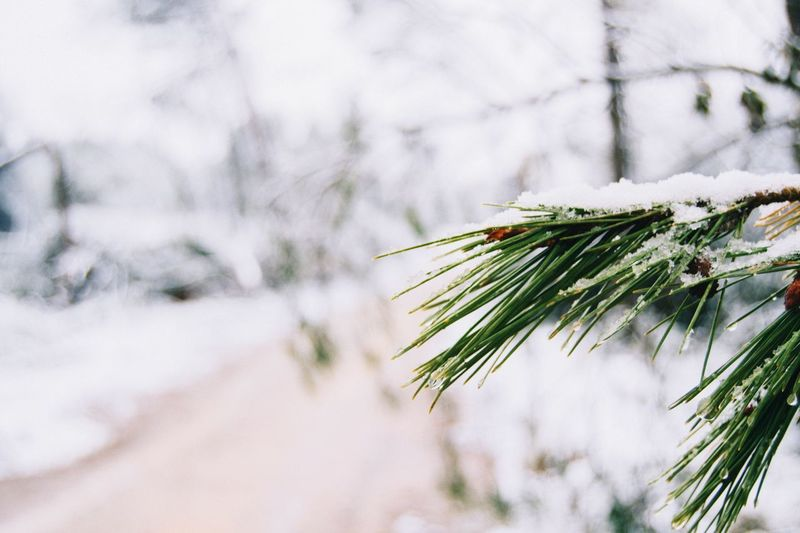 Close up of snow covering green branch