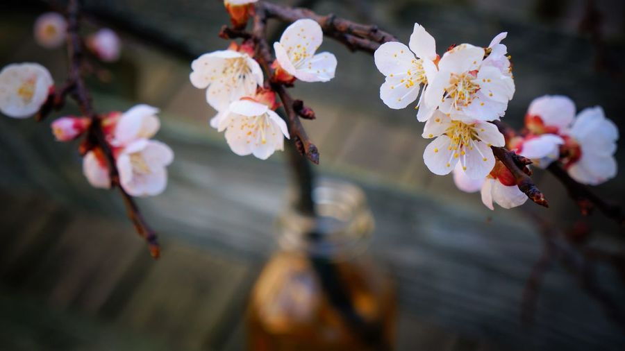Peach blossoms Beauty In Nature Blooming Blossom Branch Close-up Day Flower Flower Head Focus On Foreground Fragility Freshness Growth Nature No People Outdoors Peach Blossom Petal Pink Color Springtime Twig White Color