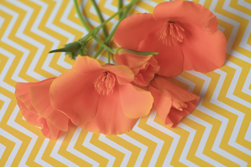 California poppies on yellow chevron background Beauty In Nature Blooms California Poppies Chevron Pattern Close-up Copy Space Floral Flower Fragility Freshness Green Indoors  Natural Light Nature No People Nobody Orange-colored Overhead Plants Spring State Flower Stems Vibrant Colors Warm Colors Yellow