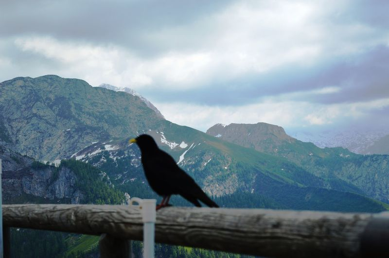 Sky Scenics Raven - Bird Perching Outdoors One Animal No People Nature Mountain Range Mountain Day Cloud - Sky Bird Beauty In Nature Animals In The Wild Animal Themes