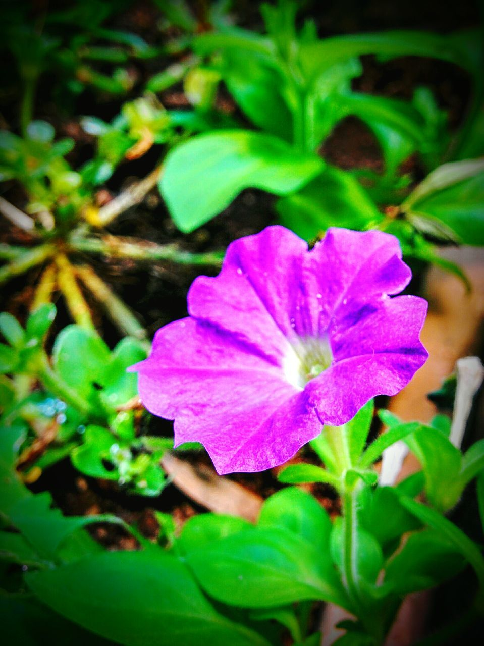 flower, petal, plant, fragility, growth, beauty in nature, freshness, nature, leaf, flower head, green color, outdoors, purple, blooming, day, close-up, no people, petunia