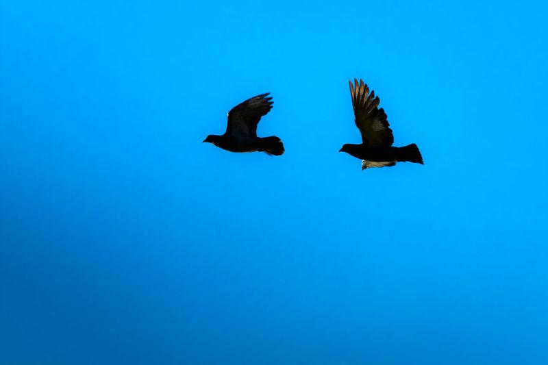 Freedom Doves