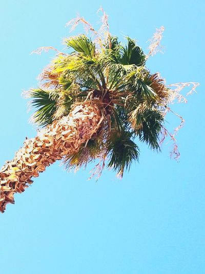 Tree Palm Tree Blue Low Angle View Clear Sky Sky Day No People Outdoors Nature Growth Branch Close-up End Of Summer Summer Daze Summer Exploratorium