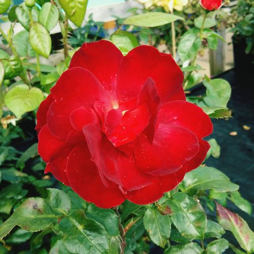 Beautiful Red Rose🌹 Close-up . Featuring Red No People Love Leaf Flower Nature Freshness Day Beauty In Nature Growth Outdoors Fragility Romance Of Nature Beauty In Nature Growth Focus On Foreground Rose - Flower Nature Green Background Beauty