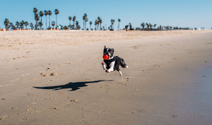 Animal Animal Themes Beach Canine Day Dog Domestic Domestic Animals Land Mammal Motion Nature No People One Animal Pets Running Sand Shadow Sky Small Sunlight Vertebrate