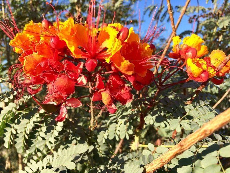 Beautiful desert flower, found on my nature walk through the east and west wetlands this morning Flower Beauty In Nature Outdoors No People Freshness Blooming Decompressing Close-up IPhone Photography Glorious Morning Light Me Alone Perspectives On Nature Perspectives On Nature