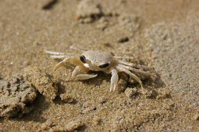 Tiny Crab The Beach  Sandy Beach Beach Crab On The Beach Bagamoyo