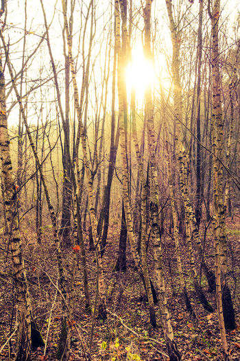 Birch Wood Sun Through Trees Sunlight Nature Nature Photography
